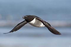 ''Vite comme l'éclair!'' Petit pingouin-Razorbill (pascaleforest) Tags: nature nikon passion canada quebec faune wildlife wild île bird oiseau