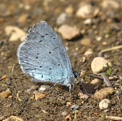 Holly Blue (Celastrina argiolus) (Colin Pinchen) Tags: butterfly lepidoptera lyraenidae blues coppers hairstreaks barburycastle swindon wiltshire england insect macro hollyblue celastrinaargiolus colin pinchen