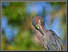 Lost in the process (WanaM3) Tags: wanam3 nikon d7100 nikond7100 texas pasadena clearlakecity horsepenbayou bayou outdoors nature wildlife canoeing paddling preening feathers animal greenie heron greenheron butoridesvirescens