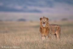 Sunrise at the Savannah (hvhe1) Tags: africa wild male nature animal cat sunrise kenya lion safari bigcat savannah mane löwe leeuw pantheraleo hvhe1 hennievanheerden mara maasai