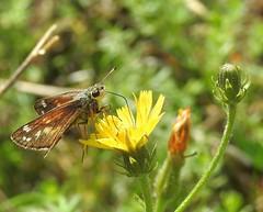 Silver-spotted Skipper (Hesperia comma) (Nick Dobbs) Tags: silverspotted skipper hesperia comma rare downs butterfly epargyreus dorset fontmell down