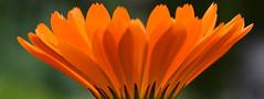 Gerbera (MJ Harbey) Tags: gerbera flower orangegerbera daisyfamily asterid asterales asteraceae mutisioideae sissinghurst cranbrook kent sissinghurstcastlegardens nikon d3300 nikond3300 nationaltrust