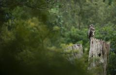 Common Buzzard (Benjamin Joseph Andrew) Tags: birdofprey raptor predator forest woodland summer one lone single individual youngster fledgling perching sound shouting