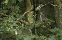 Common Buzzard (Benjamin Joseph Andrew) Tags: birdofprey raptor predator forest woodland summer one lone single individual youngster fledgling perching