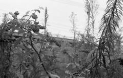 190713_NikonFG20_028 (Matsui Hiroyuki) Tags: nikonfg20 nikonainikkor85mmf20 orientalnewseagulliso100 epsongtx8203200dpi