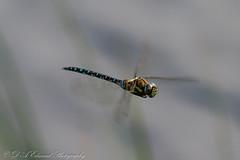 Migrant Hawker Selection (Dougie Edmond) Tags: scotland unitedkingdom irvine nature insect dragonfly wildlife