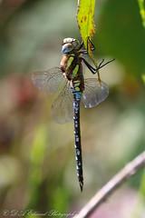 Migrant Hawker Selection (Dougie Edmond) Tags: nature insect scotland dragonfly unitedkingdom wildlife irvine
