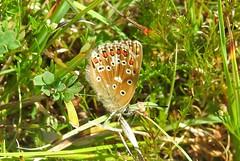 Adonis Blue (Lysandra bellargus) (Nick Dobbs) Tags: adonis blue butterfly lysandra bellargus insect dorset meadow