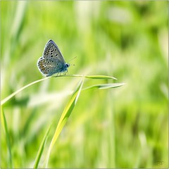 Oly_8230019 [Explore] (calpha19) Tags: imagesvoyagesphotography adobephotoshoplightroom olympusomdem1mkii zuiko m12100f4 août 2019 escapade nature ngc flickrsexplore papillon butterfly nationalgéographic macrophotographie macro proxy vosges grangessurvologne grandest inexplore