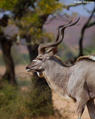 Kudu bull (leendert3) Tags: leonmolenaar southafrica krugernationalpark wilderness naturereserve wildlife nature naturalhabitat wildanimal mammal antelope kudu coth5 ngc npc