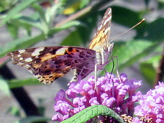 Painted Lady (billnbenj) Tags: barrow cumbria butterfly paintedlady buddleia purple