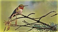 Ruby Throated Hummingbird (Bob's Digital Eye 2) Tags: bobsdigitaleye2 canon canonefs55250mmf456isstm closeup fauna flicker flickr hummingbird rubythroatedhummingbird wildbird wildlife