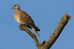 The Turtle Dove (Streptopelia turtur) (GrahamParryWildlife) Tags: global 150600 sport sigma mk11 mk2 7d canon parry graham grahamparrywildlife kentwildlife outdoor bird great detail feather kent the turtle dove streptopelia turtur caught act tree sky animal leaf forest danger rare