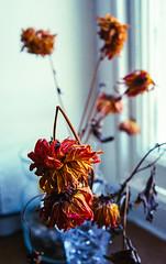 Dead flowers in colour #4 (Mano Green) Tags: dead flowers plant petal stem window light vase red orange yellow colour kendal cumbria england uk october 2016 canon eos 300 40mm lens kodak gold 200 35mm film epson perfection v550