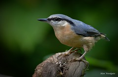 Nuthatch - Bedfordshire (Alan Woodgate) Tags: nuthatch
