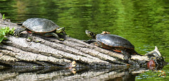 """""""Hey, My Friend, There Is Something On Your Home"""" (Vidterry) Tags: turtle paintedturtle cedarriverbackwater cedarriverwoods nikond500 tamron150600mm 11600f71 ev23"""