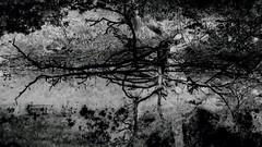 A tree fallen into a pond and its reflection. Abstraction. Monochrome. (ALEKSANDR RYBAK) Tags: абстракция монохромный негатив пруд вода отражение дерево упасть поверхность листва настроение лето сезон чёрное белое ветки abstraction monochrome negative pond water reflection tree fall surface foliage mood summer season black white branches