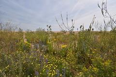 Wildflowers (PLawston) Tags: uk england britain east sussex coast path pett level winchelsea beach wildflowers teasel ragwort vipers bugloss