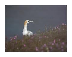 The Homemaker (janinelee66) Tags: gannet bempton campion yorkshire white seabird northern grass sea pink yellow