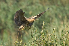 Juvenile bittern (robin elliott photography) Tags: bittern bitterns bird birds outdoors outside flight feathers wings nikon nikond850