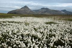 Höfn Area (David Rosset) Tags: höfn islande iceland tapis fleur flower