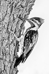 black & white conversion (Rajiv Lather) Tags: vögel vogelstand birds birding birder woodpecker bw image photo pic aves avifauna nature wildlife outside trees