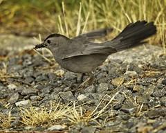 Grey Catbird Hunting (wfgphoto) Tags: greycatbird hunting bugs ground rocks