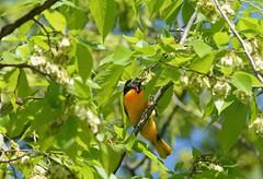 {*} Covert Oriole Cameo {*} (Wolverine09J ~ 1.8 Million Views) Tags: northernoriole songbird avianwildlife migratoryspecies perching nature uplandforest springtime greenfoliage tranquil parkreserve minnesota colorful niceasitgets~level1 1goldwildlife naturesgallery niceasitgets~level2 nationalgeographicwildlife niceasitgets~level3