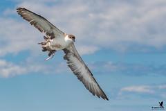 Great Shearwater (Osprey-Ian) Tags: