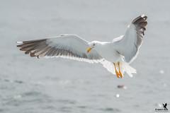 Lesser Black-backed  Gull (Osprey-Ian) Tags: bayoffundy