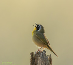 BIRDS (Robert Strickland) Tags: tree bird forest small wing beak feather avian songbird perching