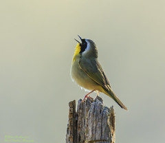 BIRDS (Robert Strickland) Tags: avian beak bird feather forest perching small songbird tree wing