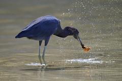 (madisonrogers) Tags: bird jamaica ocean water droplets