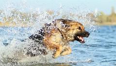 Suri (*Aña*) Tags: dog hund action water perro schäferhund friendlychallenges beginnerdigitalphotographychallengewinner diamondsawards matchpointwinner mpt746 starsawards