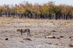 Walking Off Lunch. Etosha, Namibia (Aug. 2019) (Thomas Cluderay) Tags: photography travel travelphotography africa canon canon6d etosha etoshanationalpark safari pan wildlife wildlifephotography nature naturephotography namibia conservation bigcat cheetah