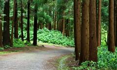 Sentieri nel bosco (Raffa2112) Tags: azzorre azores isoladifaial faialisland bosco forest alberi trees sentieri path verde green canoneos750d raffa2112