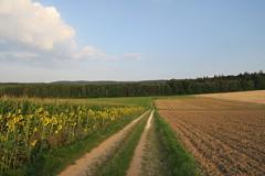 Zurück nach Thalfang (godran25) Tags: europe europa allemagne deutschland germany rhénaniepalatinat rheinlandpfalz hunsrück erbeskopf thalfang thalfangerbeskopf landscape landschaft land paysage champs tournesol sunflower tournesols sunflowers