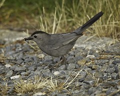 Grey Catbird (wfgphoto) Tags: greycatbird capecod ma ground rocks bugs