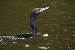 Neotropic Cormorant (Kusi Seminario) Tags: cormoran bird ave 100400