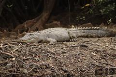 One of the locals (hughesy_foto) Tags: crocodile croc saltie daintree daintreerainforest portdouglas queensland farnorthqueensland australia canon canoneos200dii