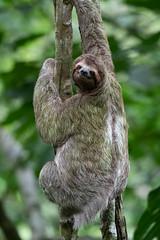 Sloth (RosePerry1107) Tags: wildlife wildlifephoto wildlifelover naturephotography sloth costarica osapeninsula wildlifephotography nikon nikon500mmpf nikond500