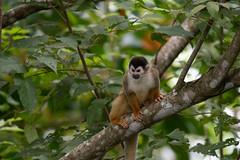 Squirrel Monkey (RosePerry1107) Tags: wildlife wildlifephoto wildlifephotography wildlifelover nikon nikon500mmpf nikond500 costarica osapeninsula squirrelmonkey