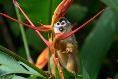 Squirrel Monkey (RosePerry1107) Tags: wildlife wildlifephoto wildlifephotography wildlifelover squirrelmonkey naturephotography osapeninsula costarica nikon nikon500mmpf nikond500