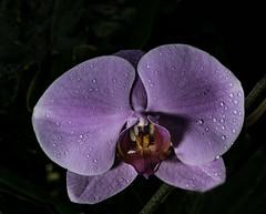 Purple Orchid With Drops (Bill Gracey 24 Million Views) Tags: orchid fleur flower flor botanicalbuilding balboapark sandiego offcameraflash lastoliteezbox softbox yongnuo yongnuorf603n darkbackground sidelighting drops purple