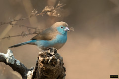 Blue Waxbill (Uraeginthus angolensis niassensis) (Dave 2x) Tags: uraeginthusangolensisniassensis uraeginthusangolensis uraeginthus angolensis niassensis bluewaxbill blue waxbill southerncordonbleu cordonbleu mkhuzegamereserve mkhuze southafrica leastconcern