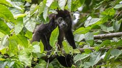 Howler Monkey (RosePerry1107) Tags: wildlife wildlifephoto wildlifephotography wildlifelover naturephotography monkey howlermonkey osapeninsula costarica nikon nikon500mmpf nikond500
