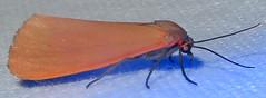 Tiger Moth, Virbia ostenta, Madera Canyon, Santa Cruz County, AZ (Seth Ausubel) Tags: erebidae az arctiinae moth arctiini