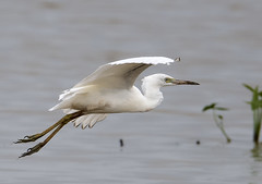 Snowy egret (gary_photog) Tags: arkansas wildlife nature baldknobnwr bird snowyegret fantasticnature coth