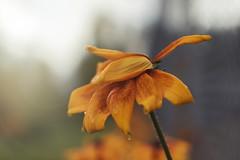 tears of gratitude (rockinmonique) Tags: flower bloom blossom petal wet drops orange yellow green light bokdh macro avolabc moniquewphotography canon canont6s tamron tamron45mm copyright2019moniquewphotography bokeh