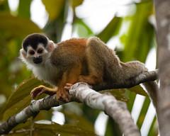 Squirrel Monkey (RosePerry1107) Tags: wildlife wildlifephoto wildlifephotography wildlifelover naturephotography costarica osapeninsula nikon nikon500mmpf nikond500 squirrelmonkey